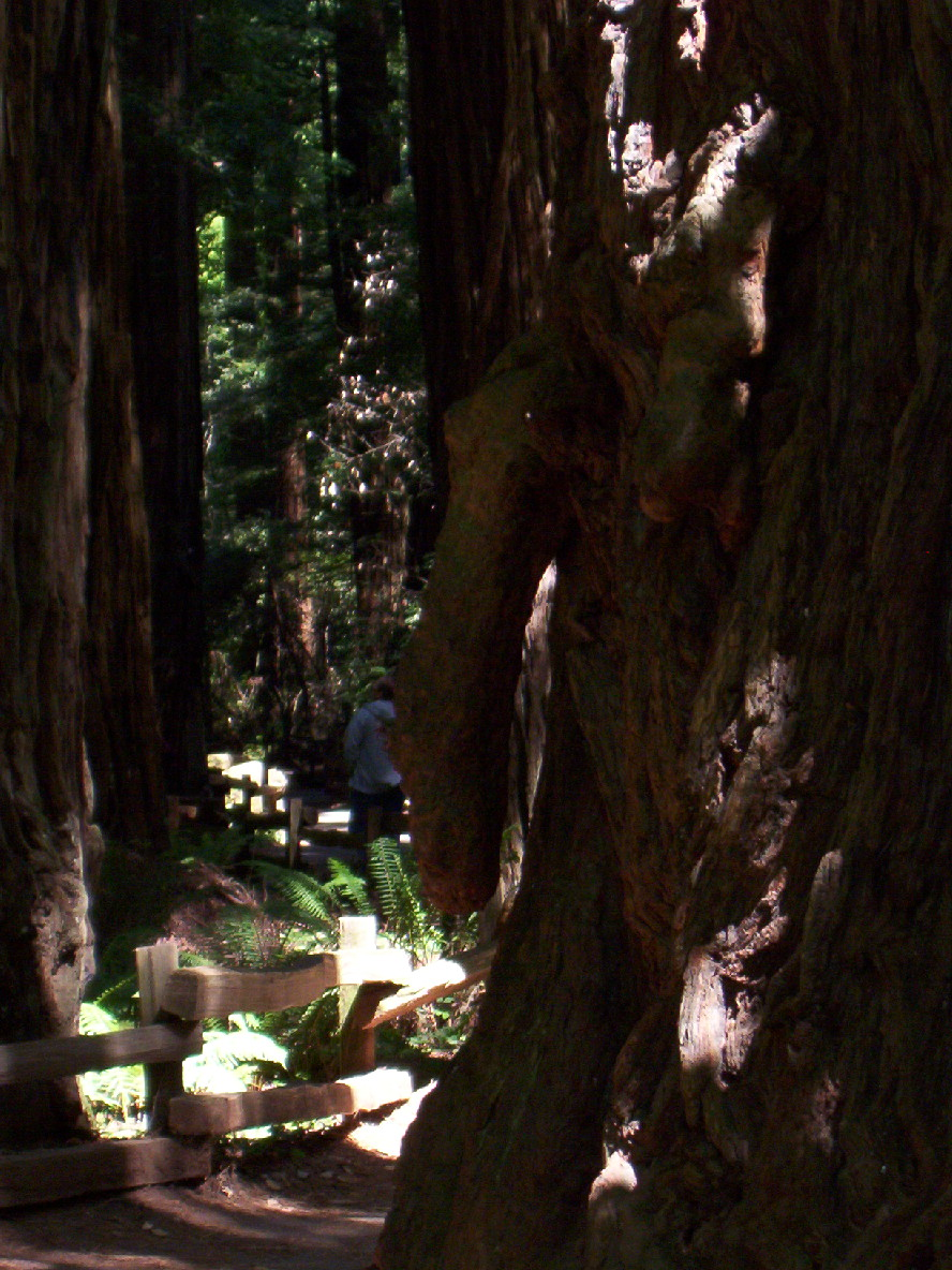 Fallic tree - muir woods.jpg